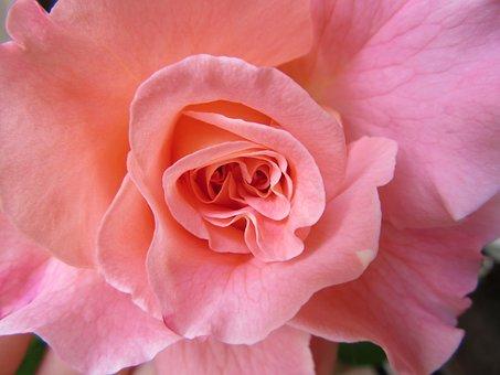 Rose, Fragrance, Romance, Flower Core, Rose Bloom