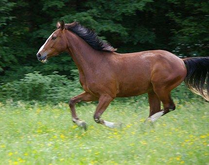 Horse, Gallop, Animal, Domestic Solipeds, Mammal