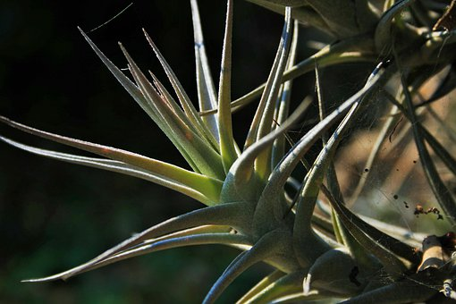Epiphyte Plant, Plant, Roots, Air, Leaves, Spiky, Green