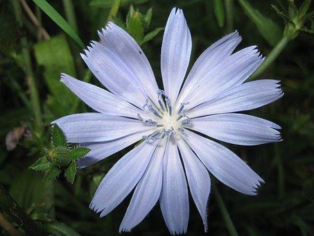 Flower, Blue, Plant, Bud, Monbachtal, Dull