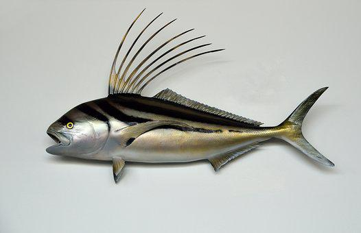 Rooster Fish, Mounted, Taxidermy, Wildlife, Wild