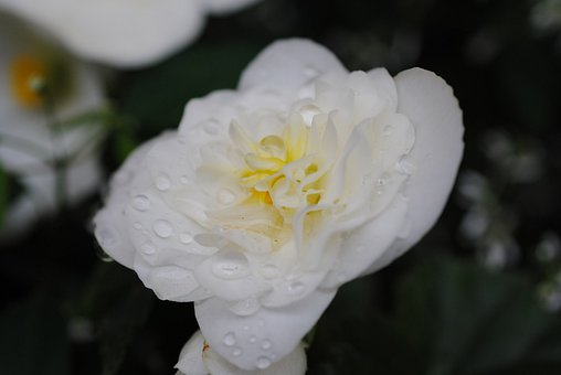 Flower, White, Dew, Dripping, Nature, Flora, Nice