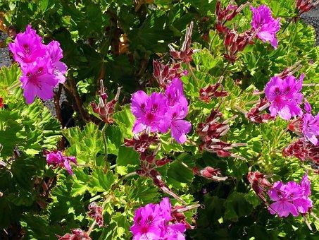 Pelargonium, Purple Flowers, Violet, Jardiniere, Summer
