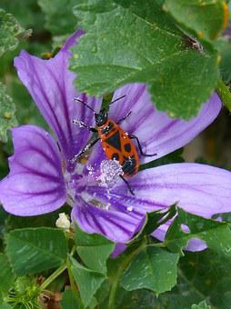 Pyrrhocoris Apterus, Bedbug Mallow