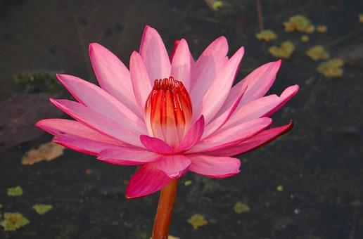 Water Lily, Flower, Red Water Lily, Lal Shapla