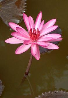 Lily, Water Lily, Waterlily, Red Water Lily, Lal Shapla