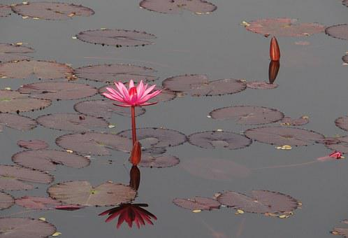 Water Lily, Flower, Red, Red Water Lily, Lal Shapla