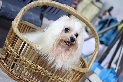 Canny Dog show, Dog Show, Dog, Small Dogs, Shih Tzu