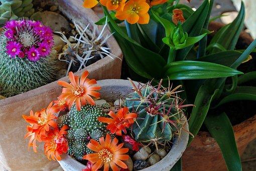Fat Plants, Succulent Plant, Mammellaria, Succulent