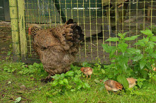 Bird, Chicken, Them, Chick, Poultry, Young, Small