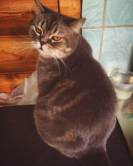 Cat, Thick, Fat Cat, Pets, View, Fur, Muzzle Cat
