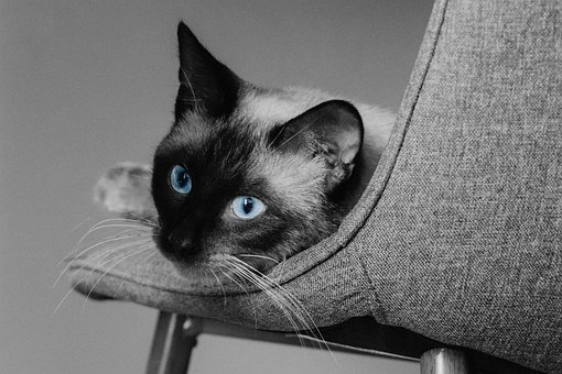 Cat, Cat's Eyes, Blue Eyes, Pet, Animal, Siamese