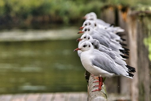 Gull, Bird, Colony, Flock, Group, Seabird, Animal