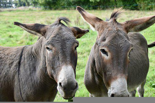 Donkeys, Ass, Ranch, Farm, Equine, Animals