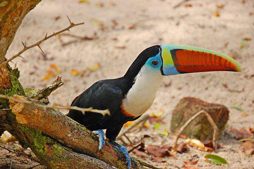 Toucan, Bird, Beak, Feathers, Plumage, Tree, Ground