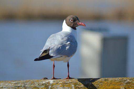 Black-headed Gull, Gull, Coast, Bird, Seabird