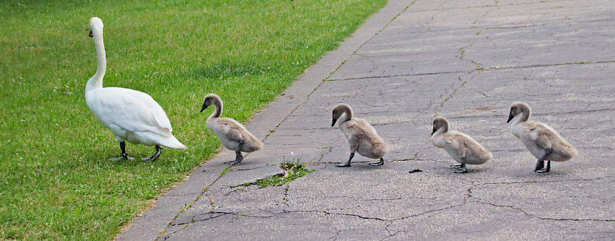 Swans, Family, Brood, Birds, Mother, March, Pavement