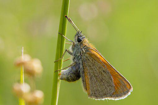 Butterfly, Insect, Wings, Antennae, Chequered Skipper