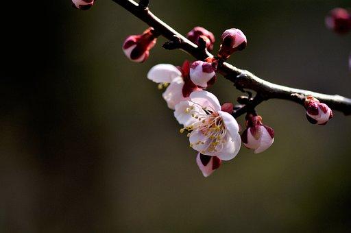 Cherry Blossom, Sakura, Tree, Branch, Flowers, Blossom