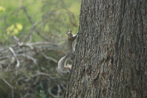 Squirrel, Tree, Tree Trunk, Climb, Climbing
