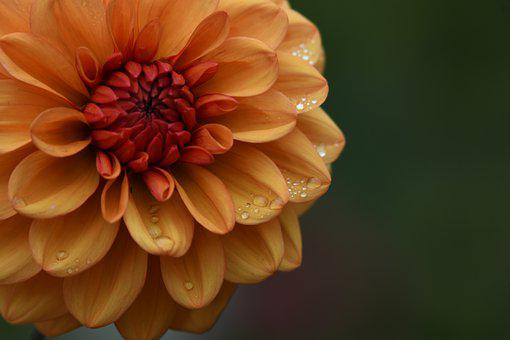 Dahlia, Orange Dahlia, Morning Dew, Wet, Dew, Droplets