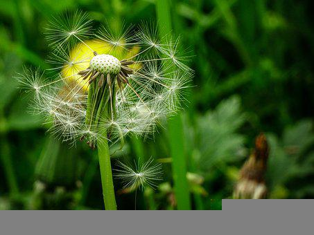 Dandelion, Seeds, Stem, Flowers, Petals, Nature