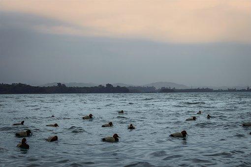 Ducks, Swimming, Lake, Flock, Flock Of Ducks