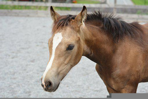 Foal, Horse, Young Horse, Equine, Filly, Colt, Animal