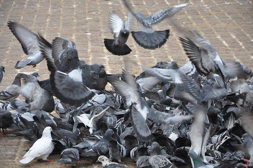 Pigeons, Birds, Wings, Feathers, Plumage, Eating