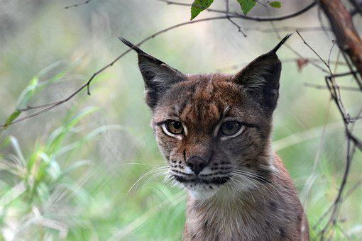 Lynx, Feline, Cat, Wild, Animal, Nature, Agile
