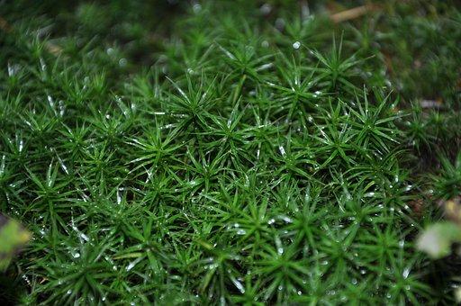 Moss, Plant, Flora, Forest, Grass, Nature