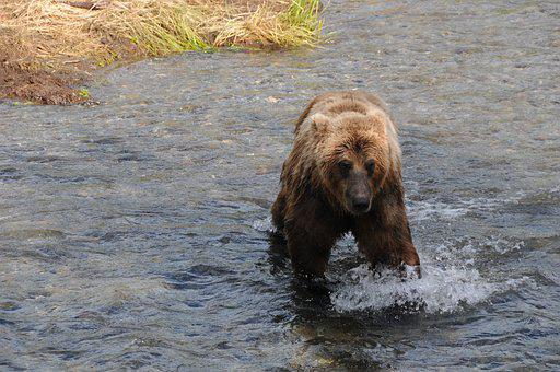Brown Bear, Grizzly Bear, Grizzly, Bear, River