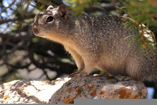 Ground Squirrel, Squirrel, Rodent, Animal, Small Animal