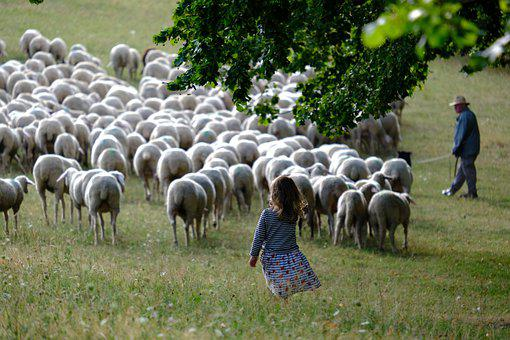 Sheep, Herd, Pasture, Meadow, Grassland, Flock, Animals