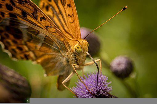 Pollination, Butterfly, Flower, Pollinator, Insect