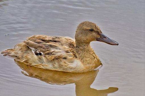 Mallard, Duck, Waterfowl, Juvenile Duck, Young Duck