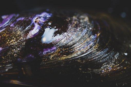Shell, Seashell, Mollusk, Exoskeleton, Marine, Closeup