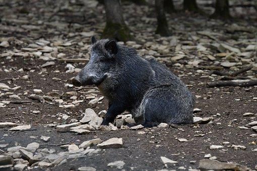 Wild Boar, Animal, Pig, Mammal, Nature, Wild, Wildlife
