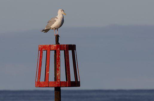 Herring Gull, Gull, Tide Marker, Sea, Ocean, Water