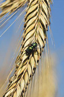 Fly, Insect, Pest, Barley, Barley Spike, Crop, Closeup