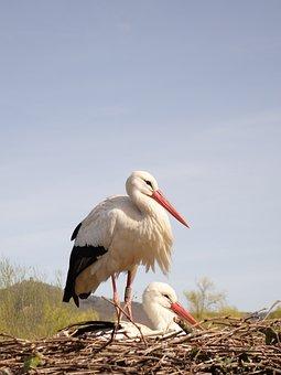 Storks, Birds, Beak, Feathers, Plumage, Baby, Nest