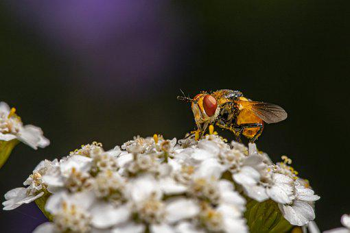 Pollination, Flower Fly, Flowers, Pollinator, Insect