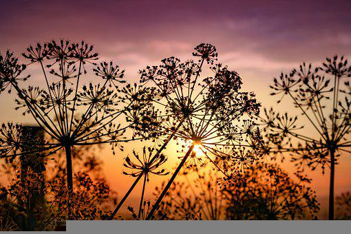 Sunset, Silhouette, Flowers, Nature, Sunlight, Plants