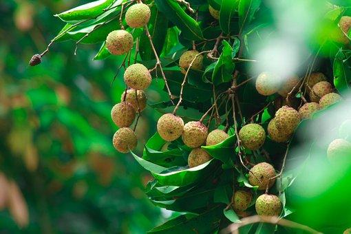 Unripe, Lychee, Fruit, Tropical Fruit, Lychee Tree