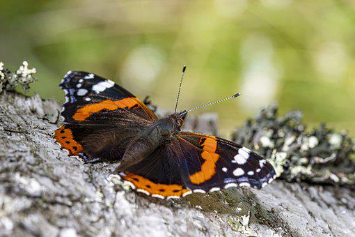 Red Admiral, Butterfly, Insect, Vanessa Atalanta