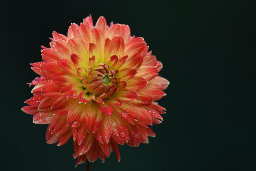 Dahlia, Orange Dahlia, Morning Dew, Wet, Dew, Droplets