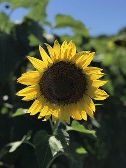 Sunflower, Flower, Field, Bloom, Nature, Yellow Petals