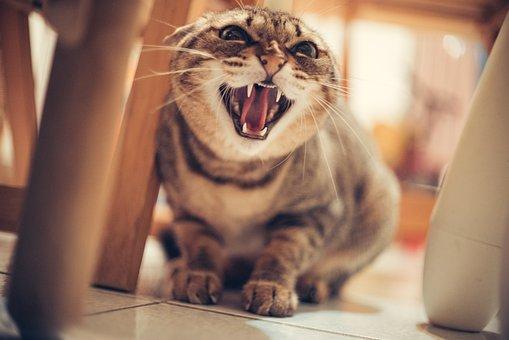 Cat, Cat Hissing, Angry, Pet, House Cat, Domestic Cat