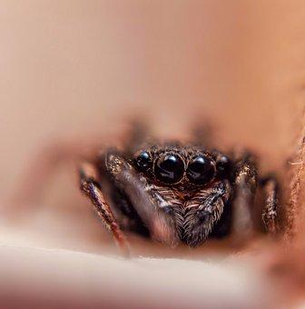 Spider, Insect, Bug, Arachnid, Eyes