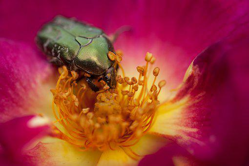 Rose Beetle, Beetle, Flower, Insect, Blossom, Bloom